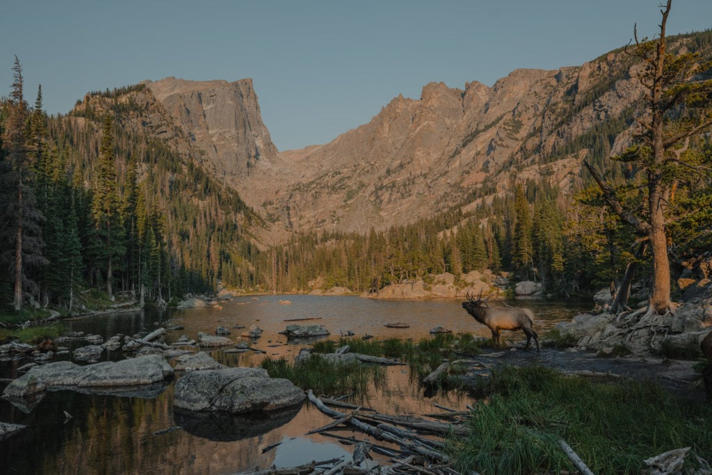 Elk bugling at sunrise while over looking dream lake in rocky mountain national park